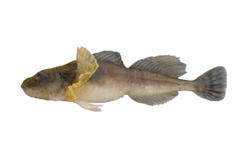 Chabot de profondeur (Photo de Doug Watkinson/Fisheries and Oceans Canada)