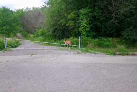 The deer I saw while rushing to avoid being caught in a thunderstorm (Photo by Adam Hunter/NCC staff)