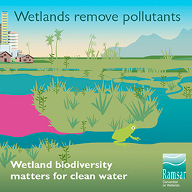 Wetlands remove pollutants (Graphic by Ramsar Convention on Wetlands)