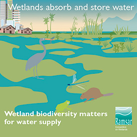 Wetlands absorb and store water (Graphic by Ramsar Convention on Wetlands)