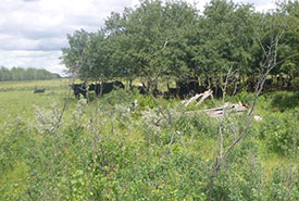 An abandoned wagon surrounded by a herd of cows at Redberry Lake Biosphere Reserve, SK  (Photo by NCC)