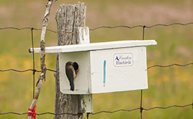 An eastern bluebird at a nest box in Rice Lake Plains, ON. (© Cameron Curran)