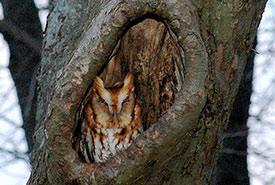 Eastern screech owl (Photo by Wikimedia Commons, Epeterwolf)