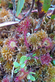 Round-leaved sundew growing in the peat moss in a raised bog in Escuminac, NB. (Photo by Claire Elliott)