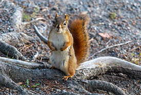 Squirrel at Point Pleasant Park (Photo by Brittany Foster)