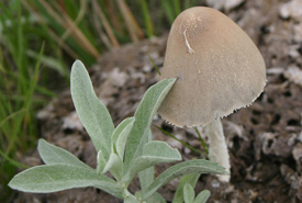 This lovely little mushroom was growing in an old cow pie (Photo by Diana Bizecki Robson)