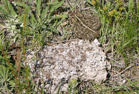 I thought the cow pie was moving when this little toad hopped away! (Photo by Diana Bizecki Robson)