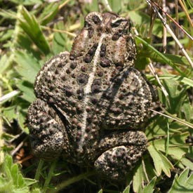 This Canadian toad really appreciated the shower I gave it (Photo by Diana Bizecki Robson)