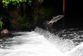 Fish jumping over a cascading river (Photo by Drew Farwell, Unsplash)