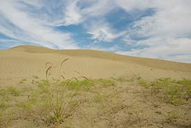 Hardy vegetation at the Great Sand Hills, SK (Photo by Bill Armstrong)