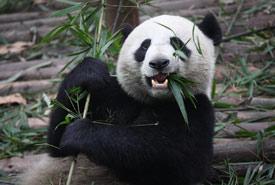 Giant panda (Photo by Chen Wu, Wikimedia Commons)