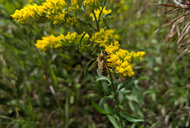 Goldenrods provide food for bees (Photo by NCC)