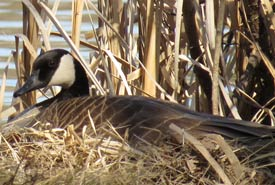 Canada goose (Photo by Denise Harris)