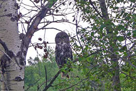The great grey owl that startled me. (Photo by Dr. Diana Bizecki Robson)
