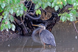 The great blue heron — a symbol of wisdom and self-determination. (Photo by Lorne)