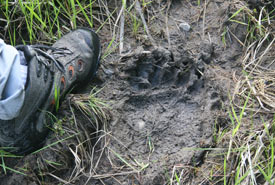 Sometimes all we see are tracks: fairly fresh Grizzly track in soft mud. The human foot is a size 15 shoe. Not sure what size the bear would be but probably XXXL. (Photo by Peter Shaughnessy)