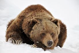 Grizzly bear (Photo by Caroline Henri)