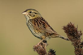 Henslow's sparrow (Photo by Adam Timpf)