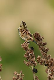 Henslow's sparrow throwing its head back every time it let out his song. (Photo by Adam TImpf)