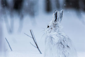 Snowshoe hare (Photo by Geoffrey Reynaud from Getty Images/Canva)