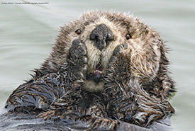 Otter making an astonished face (Photo © Harry Walker / Comedy Wildlife Photography Awards 2019)