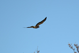Hawk soaring in the sky (Photo by NCC)