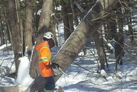 Ryan Downey of Downey Tree Service falling a tree at Creemore Nature Preserve (Photo by NCC)
