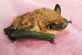 A big brown bat