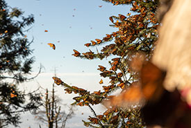 Monarchs covering the oyamel fir trees was a spectacular sight (Photo by Alberto Becerra)