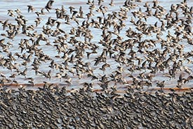 The upper Bay of Fundy hosts one third of the global population of semipalmated sandpipers each summer. (Photo by NCC)