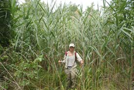 Jill Crosthwaite, southwestern Ontario Region's Coordinator, Conservation Biology displaying height of common reed (Photo by NCC)