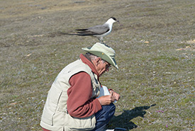 James M. Richards taking field notes while a long-tailed jaeger roosts on his head (Photo by Mike McEvoy)