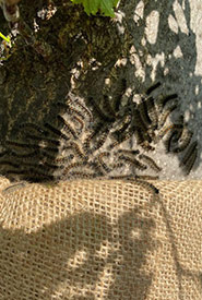 Closer up photo of caterpillars above the burlap trap (Photo by Jen)