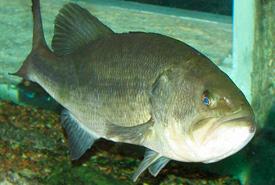Largemouth bass (Photo by Trisha M. Shears)