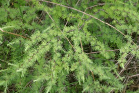 Although it bears cones tamarack (Larix laricina) is not an evergreen; it loses its needles in the fall. (Photo by Manitoba Museum)