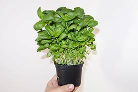 Basil (Photo by Wikimedia Commons)