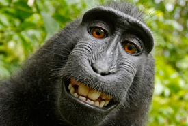 Self-portrait of a Celebes crested macaque female (Photo by Wikimedia Commons)