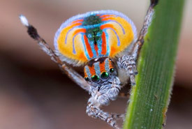 Male peacock spider (Photo by Jurgen Otto/Wikimedia Commons)