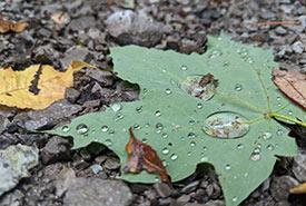 Maple leaf, a source of wonder (Photo by NCC)