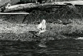 Mermaid on Mayne Island, BC, 1967 (Photo by Times Colonist)