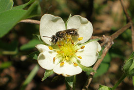 Miner bee on wild strawberry (Photo by Marika Olynyk/NCC staff)