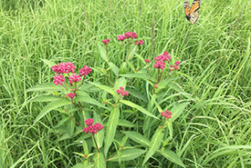 Swamp milkweed and monarch among the tall grasses and wildflowers at Hog Island. (Photo by NCC)