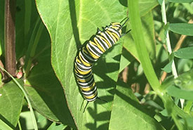 A monarch caterpillar on a milkweed plant. (Photo by NCC)