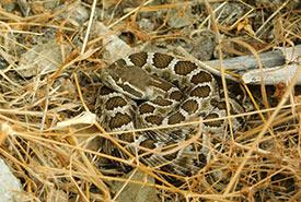 A newborn western rattlesnake.  (Photo by Stephanie Winton)