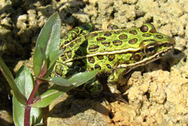 Northern leopard frog (Photo by NCC)