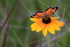 Northern crescent butterfly (Photo by NCC)