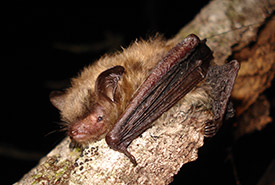 Northern long-eared bat (Photo by Joe Poissant)