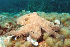 Octopus (Photo by Albert Kok, Wikimedia Commons)