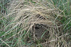 Open cup nest of a vesper sparrow, a ground nesting grassland songbird (Photo by Sarah Ludlow/NCC staff)