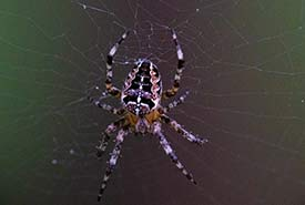 Orb-weaver (Photo by Brittany Foster)